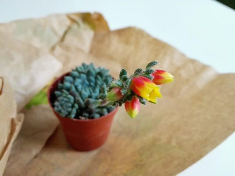 Echeveria setosa var. deminuta Blüte